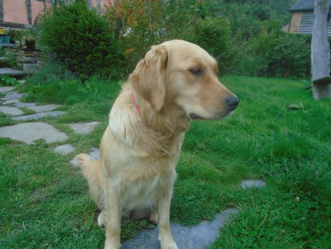 Golden Retriever Bella, 4, went missing from her home in Tylwch, near Llanidloes. Photo: Old Chapel Farm