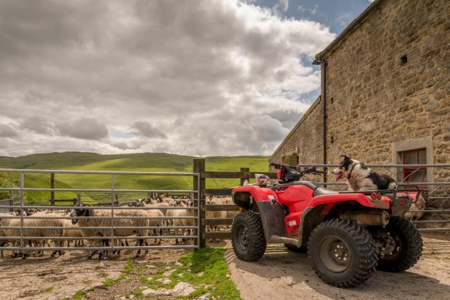 Sheepdog watching sheep from a quad bike.  Sheep are behind a gate and the dog is on the rear of the quad bike.  The Yorkshire dales are in the background..