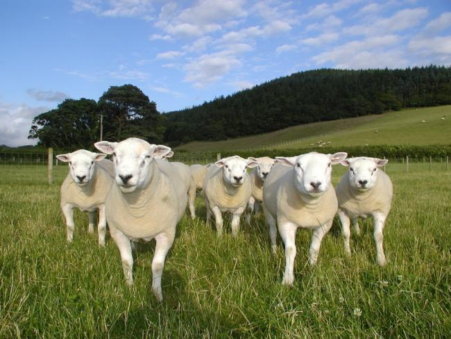 Welsh Texel rams. Picture: HCC