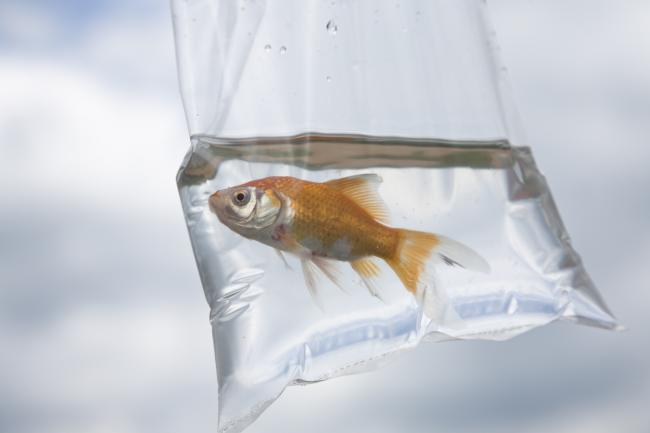 A goldfish in a bag. Picture: Getty Images