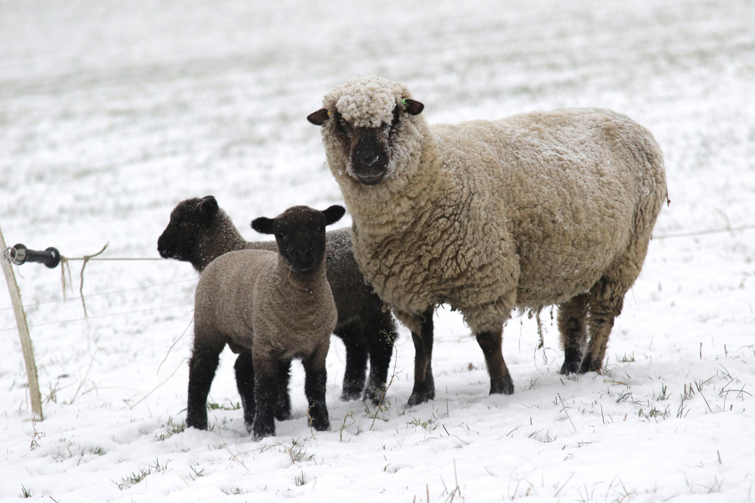 1/3/2018 - Sheep brave the cold after heavy snowfall from Storm Emma.Pic: Mike Sheridan/County TimesMS031-2018