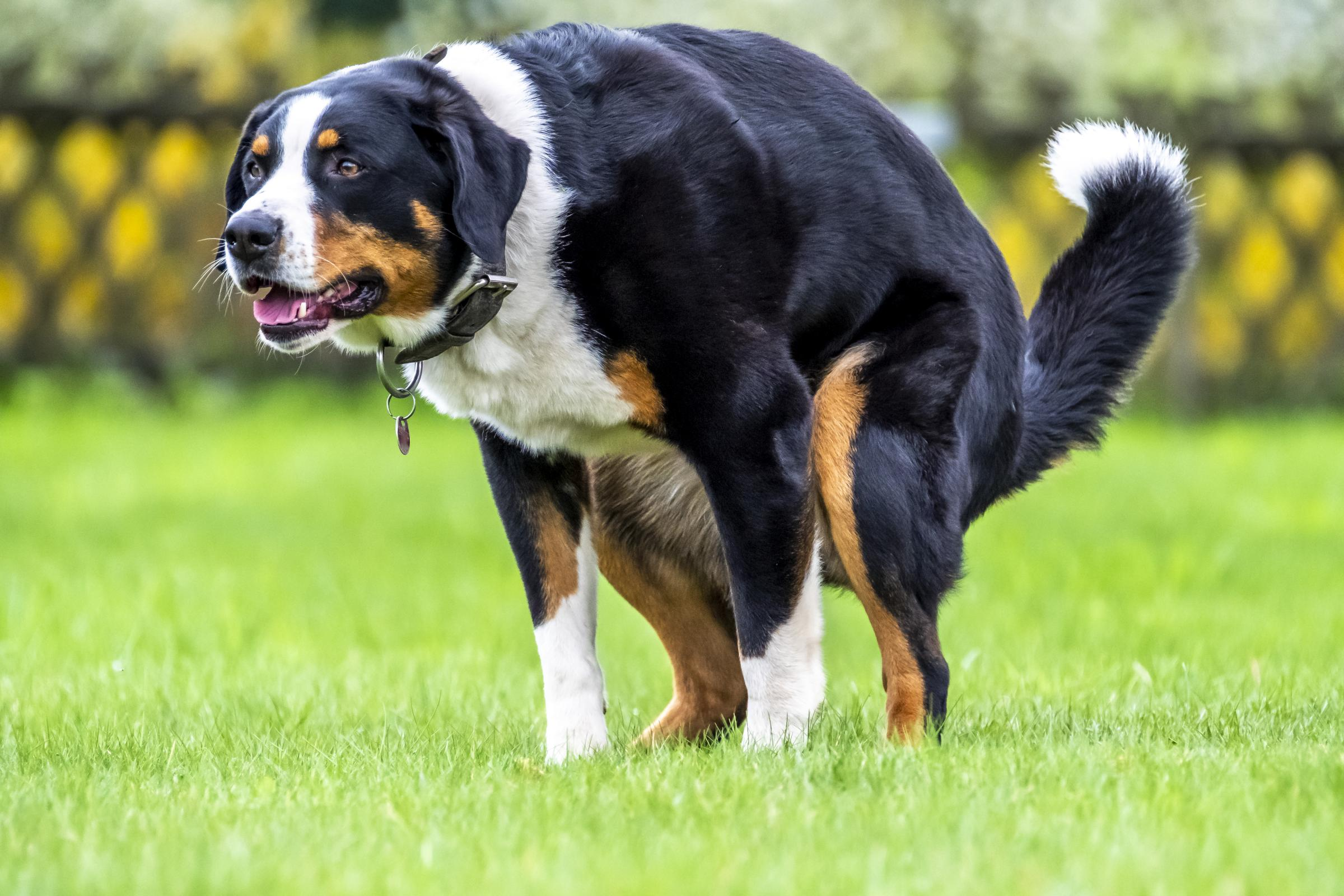 Bernese Mountain Dog pooping in the neighbourhood.