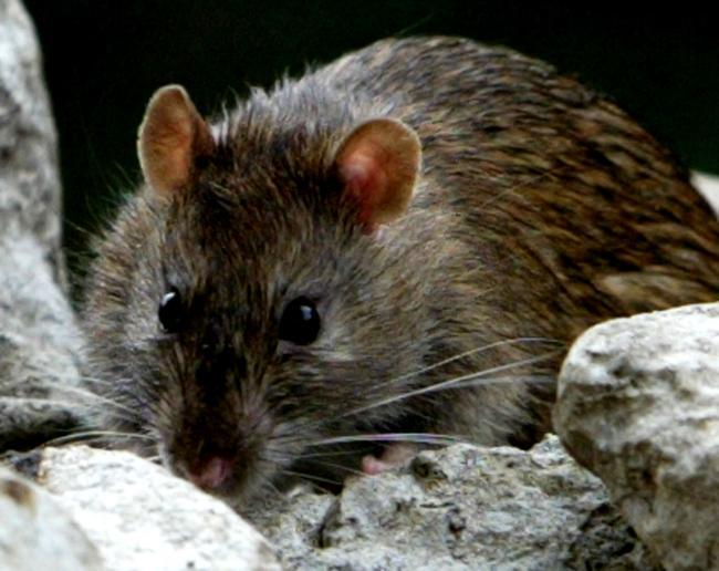 UK population outnumbered by rats as lockdown boosts rodent population